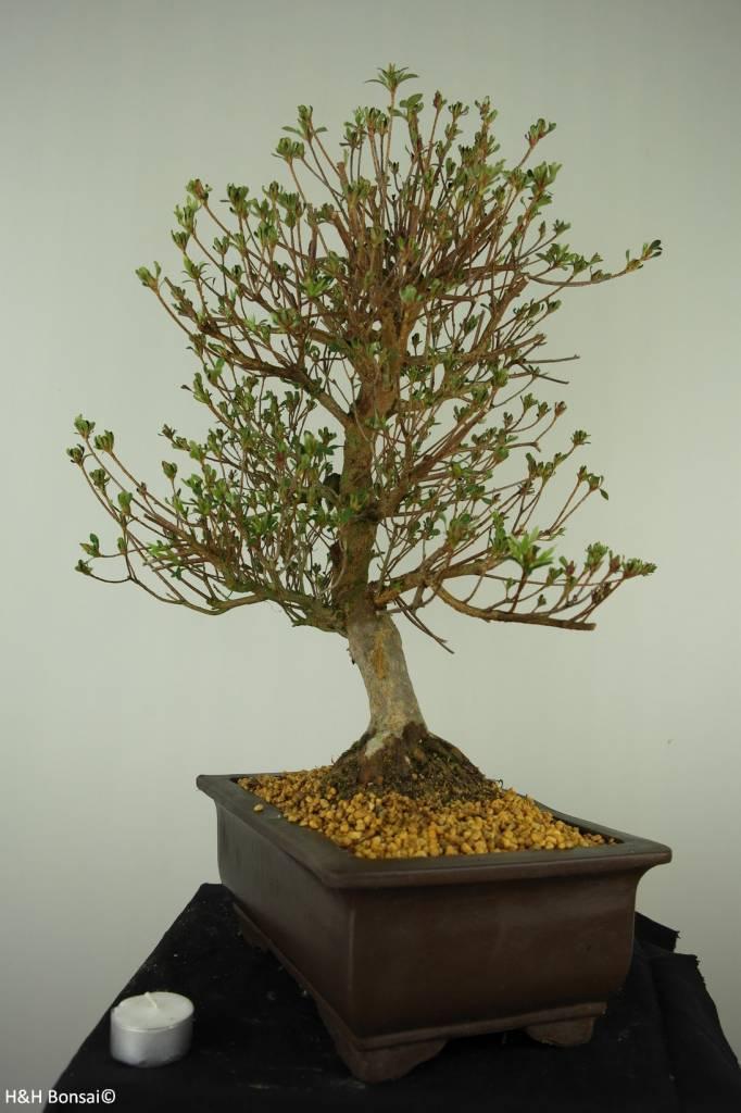 Bonsai Azalée du Japon, Azalea Satsuki Kinsai, no. 7448
