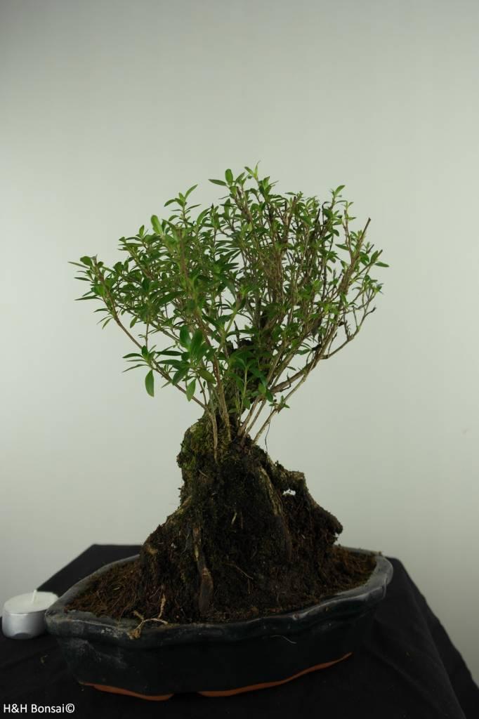 Bonsai Neige de juin, Serissa foetida, no. 7451