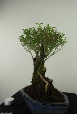 Bonsai Neige de juin, Serissa foetida, no. 7452