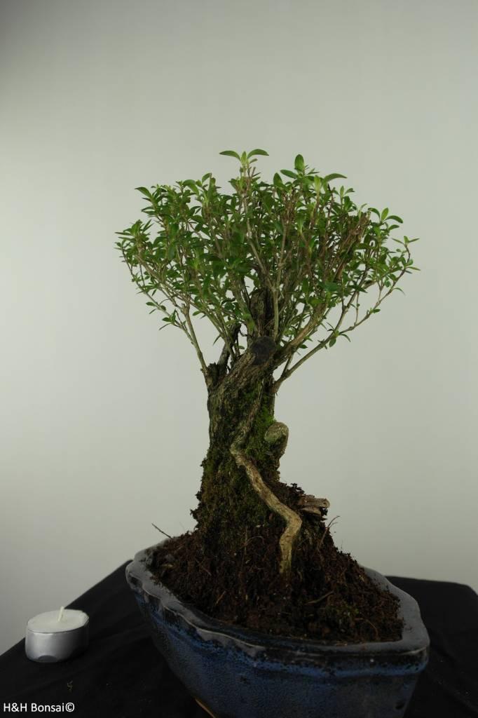 Bonsai Serissa foetida, nr. 7452