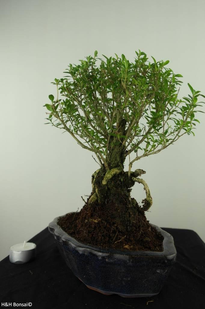 Bonsai Neige de juin, Serissa foetida, no. 7453