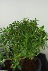 Bonsai Serissa foetida, nr. 7453
