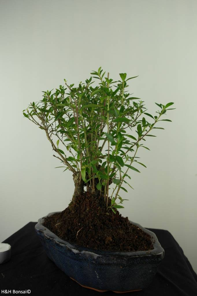 Bonsai Serissa foetida, nr. 7454