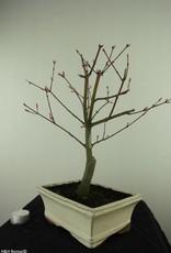 Bonsai Acer palmatum deshojo, Japanse esdoorn, nr. 7456