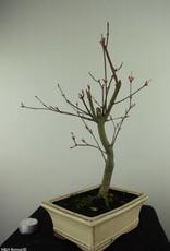 Bonsai Acer palmatum deshojo, Japanse esdoorn, nr. 7459