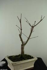 Bonsai Acer palmatum deshojo, Japanse esdoorn, nr. 7464