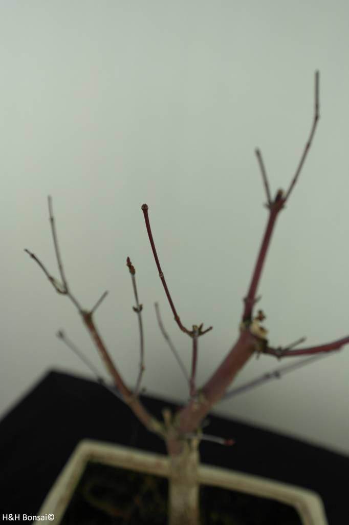 Bonsai Acer palmatum deshojo, Japanse esdoorn, nr. 7467