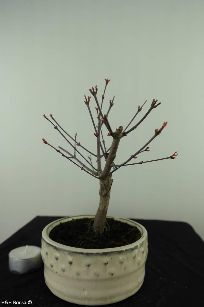 Bonsai Acer palmatum deshojo, Japanse esdoorn, nr. 7469