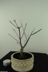 Bonsai Acer palmatum deshojo, Japanse esdoorn, nr. 7470