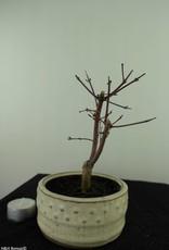Bonsai Acer palmatum deshojo, Japanse esdoorn, nr. 7473