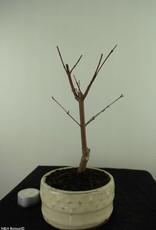 Bonsai Acer palmatum deshojo, Japanse esdoorn, nr. 7476