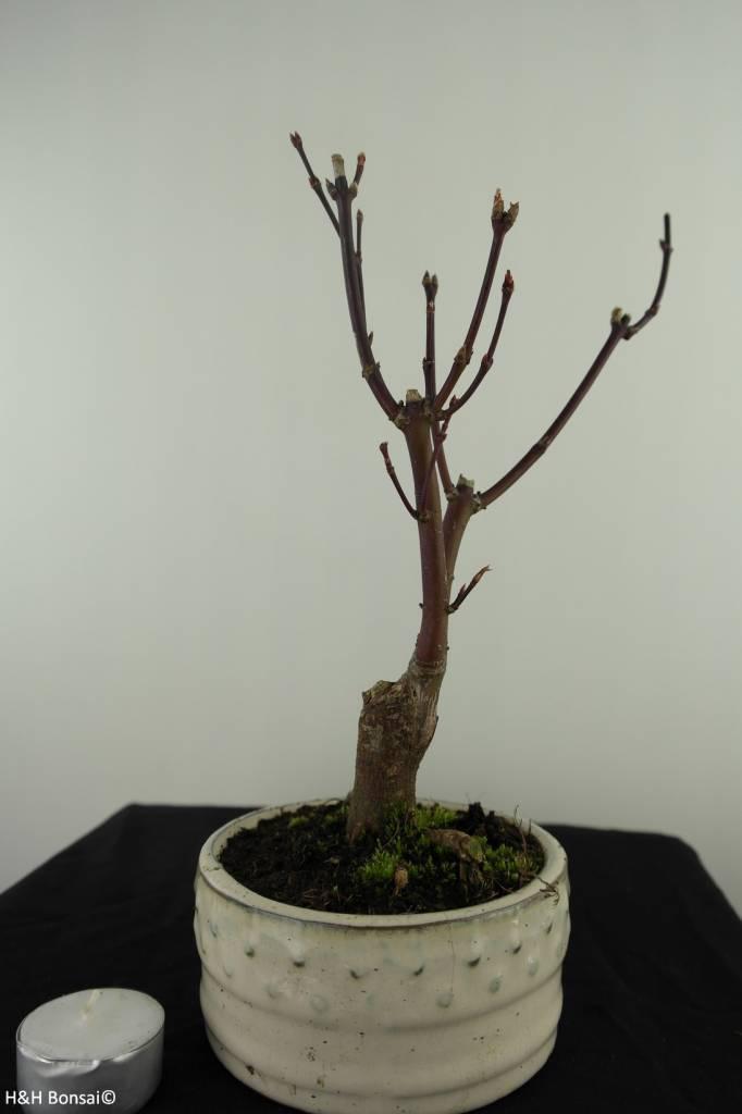 Acer palmatum Atropurpureum, Japanse esdoorn, nr. 7483