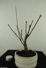 Acer palmatum Atropurpureum, Japanse esdoorn, nr. 7485
