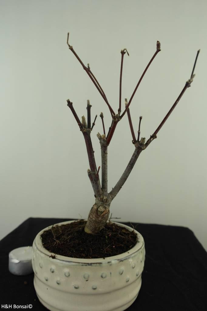 Acer palmatum Atropurpureum, Japanse esdoorn, nr. 7486