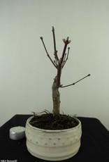 Acer palmatum Atropurpureum, Japanse esdoorn, nr. 7487