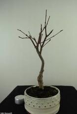 Acer palmatum Atropurpureum, Japanse esdoorn, nr. 7488