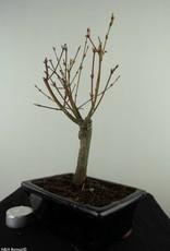 Bonsai Acer palmatum Batafurai, Butterfly, nr. 7489
