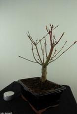Bonsai Acer palmatum Batafurai, Butterfly, nr. 7491