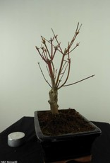 Bonsai L'Erable du Japon,Acer PalmatumBatafurai, no. 7491