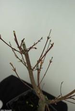 Bonsai Acer palmatum Batafurai, Butterfly, nr. 7493