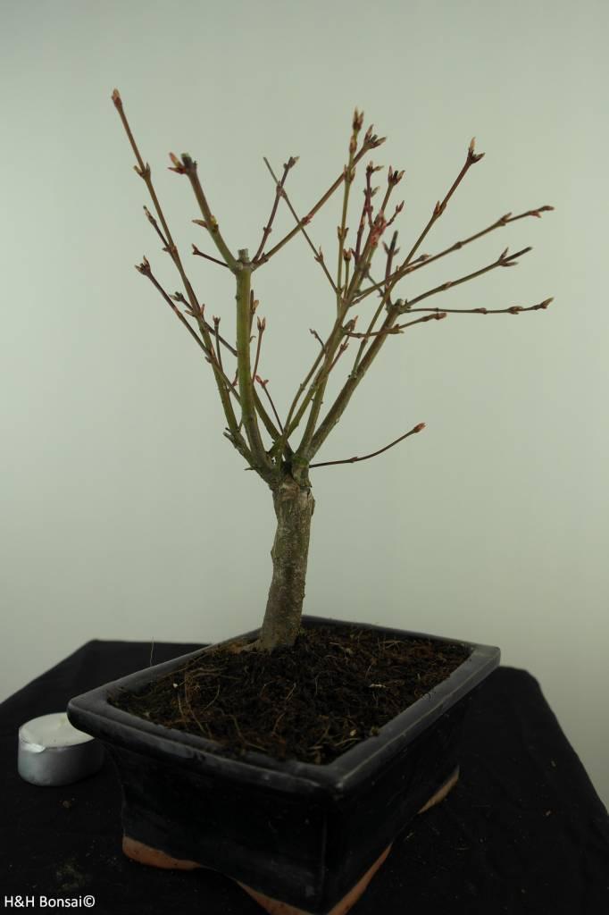 Bonsai Acer palmatum Batafurai, Butterfly, nr. 7496