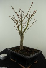 Bonsai L'Erable du Japon, Acer Palmatum Batafurai, no. 7496