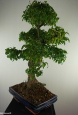 Bonsai Troène,Ligustrum nitida, no. 7499
