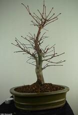 Bonsai Acer palmatum deshojo, Japanse esdoorn, nr. 7508