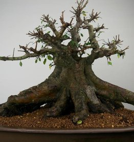 Bonsai Orme de Chine, Ulmus, no. 7509