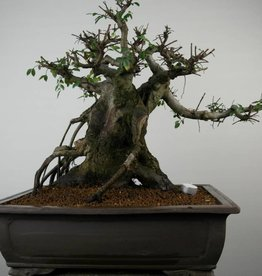 Bonsai Orme de Chine, Ulmus, no. 7510