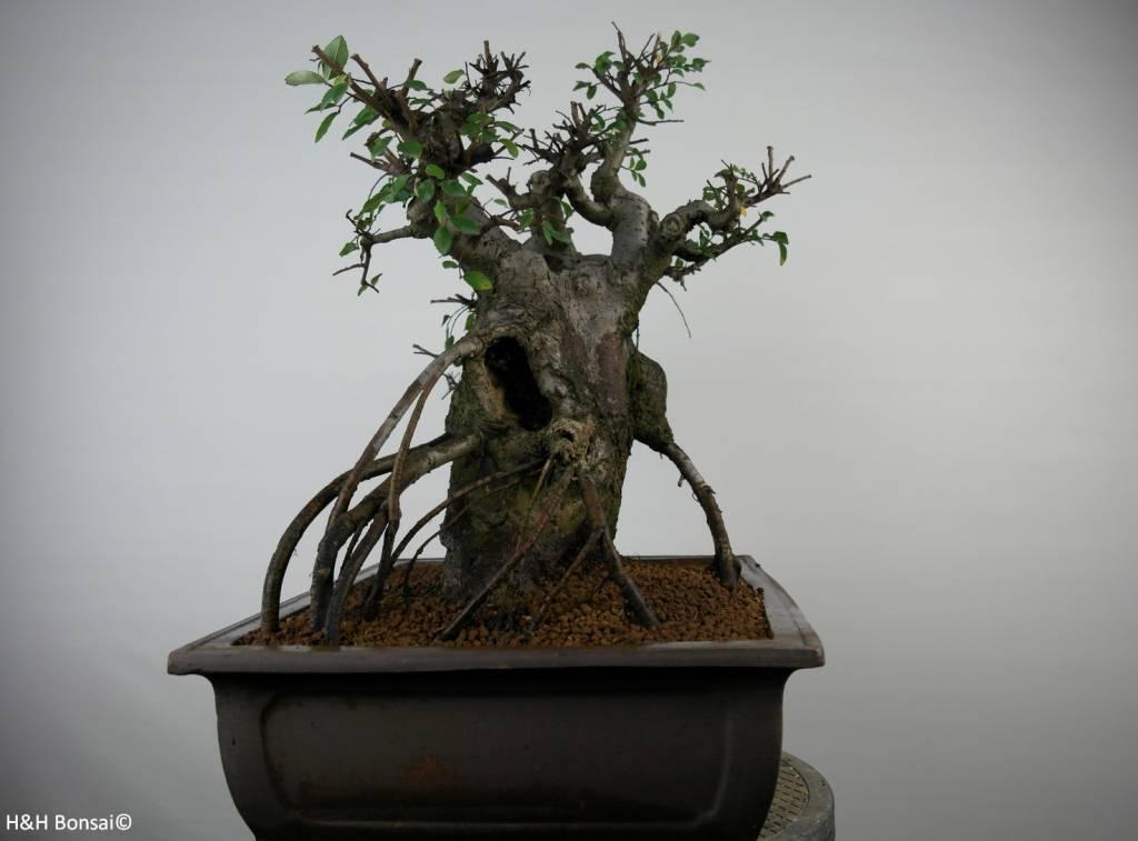 Bonsai Ulmus, Chinese Iep, nr. 7510