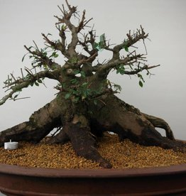 Bonsai Ulmus, Chinese Iep, nr. 7511
