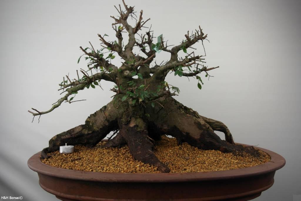 Bonsai Ulmus, Chinese Iep, nr. 7511