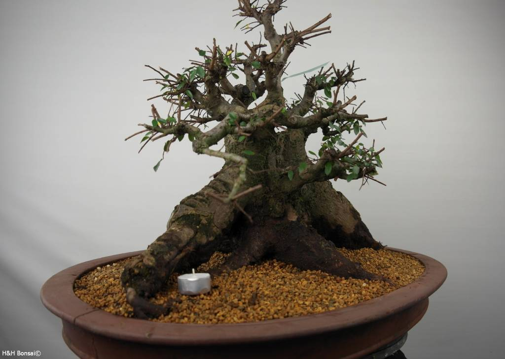 Bonsai Orme de Chine, Ulmus, no. 7511