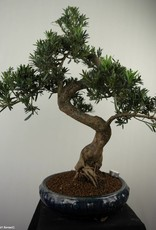 Bonsai Podocarpus, Japanse boeddha den, nr. 7512
