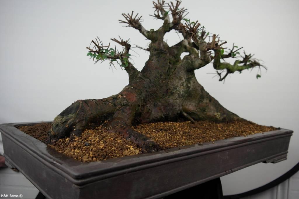 Bonsai Orme de Chine, Ulmus, no. 7513