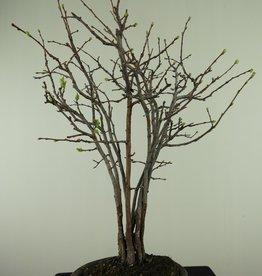 Bonsai Chaenomeles sinensis, no. 7512A