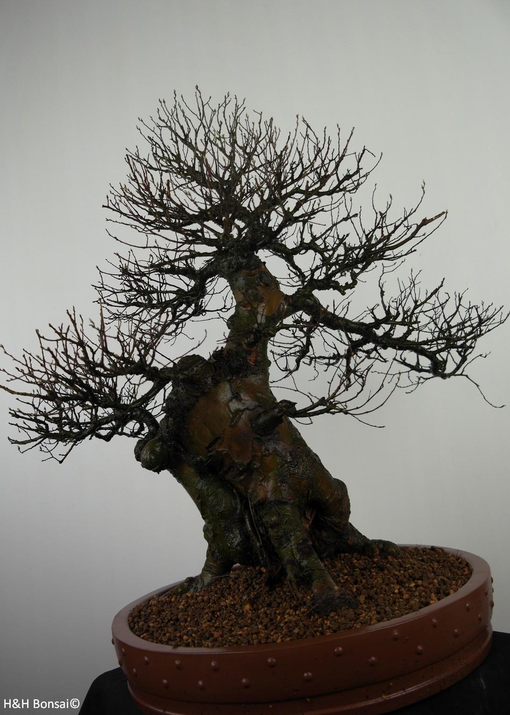 Bonsai Ulmus, Chinese Iep, nr. 7519