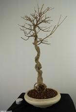Bonsai Acer buergerianum, Drietands Esdoorn, nr. 7520
