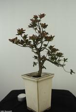 Bonsai Azalea, Rhododendron indicum, nr. 7535