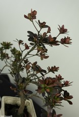 Bonsai Azalée, Azalea Rhododendron indicum, no. 7535