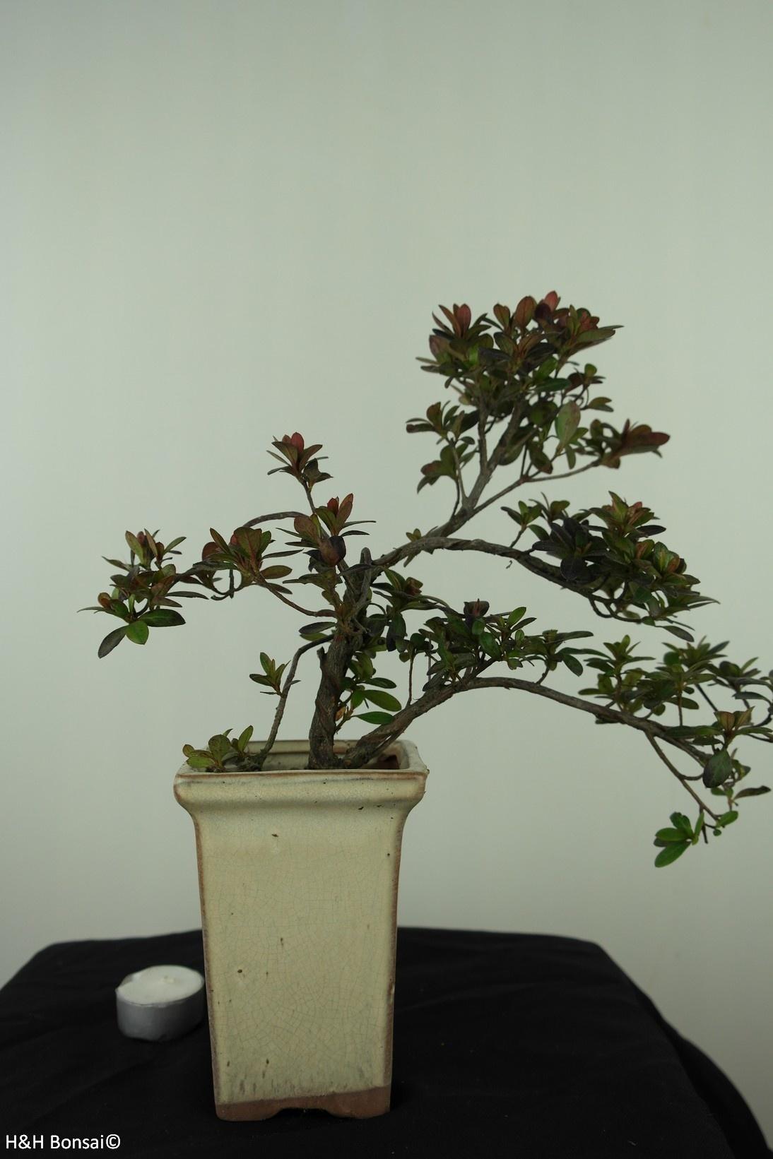 Bonsai Azalée, Azalea Rhododendron indicum, no. 7536