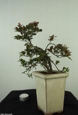 Bonsai Azalea, Rhododendron indicum, nr. 7536