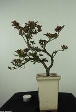 Bonsai Azalea, Rhododendron indicum, nr. 7537