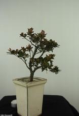 Bonsai Azalea, Rhododendron indicum, nr. 7540