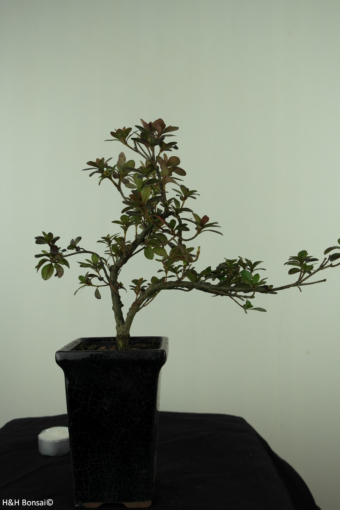 Bonsai Azalée, Azalea Rhododendron indicum, no. 7541