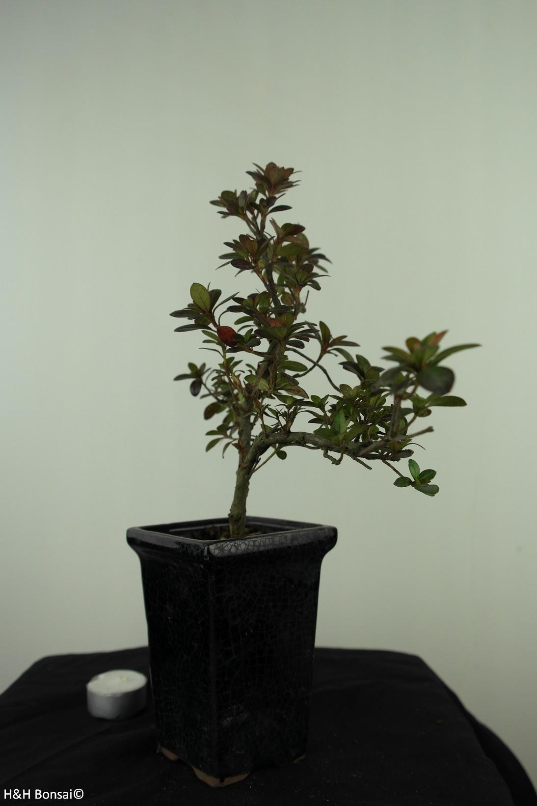 Bonsai Azalea, Rhododendron indicum, nr. 7541