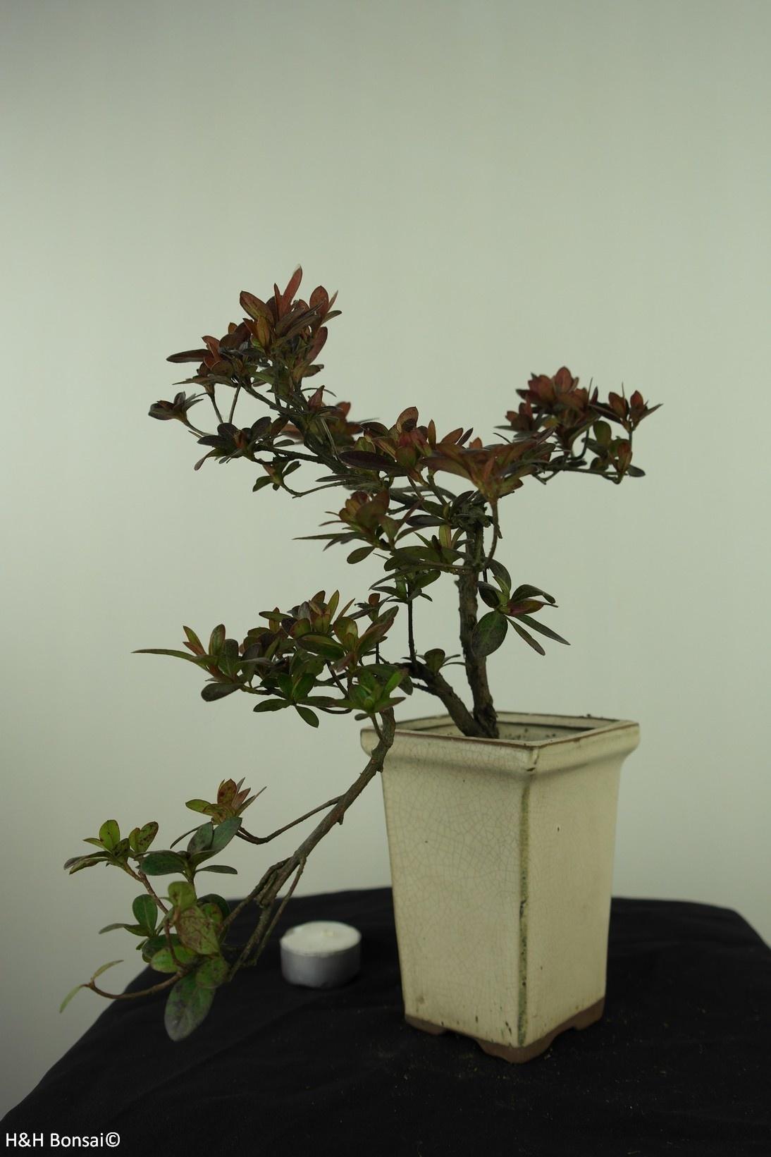 Bonsai Azalea, Rhododendron indicum, nr. 7542