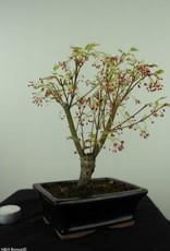 Bonsai Erable du Japon,Acer palmatumBatafurai, Butterfly, no. 7543