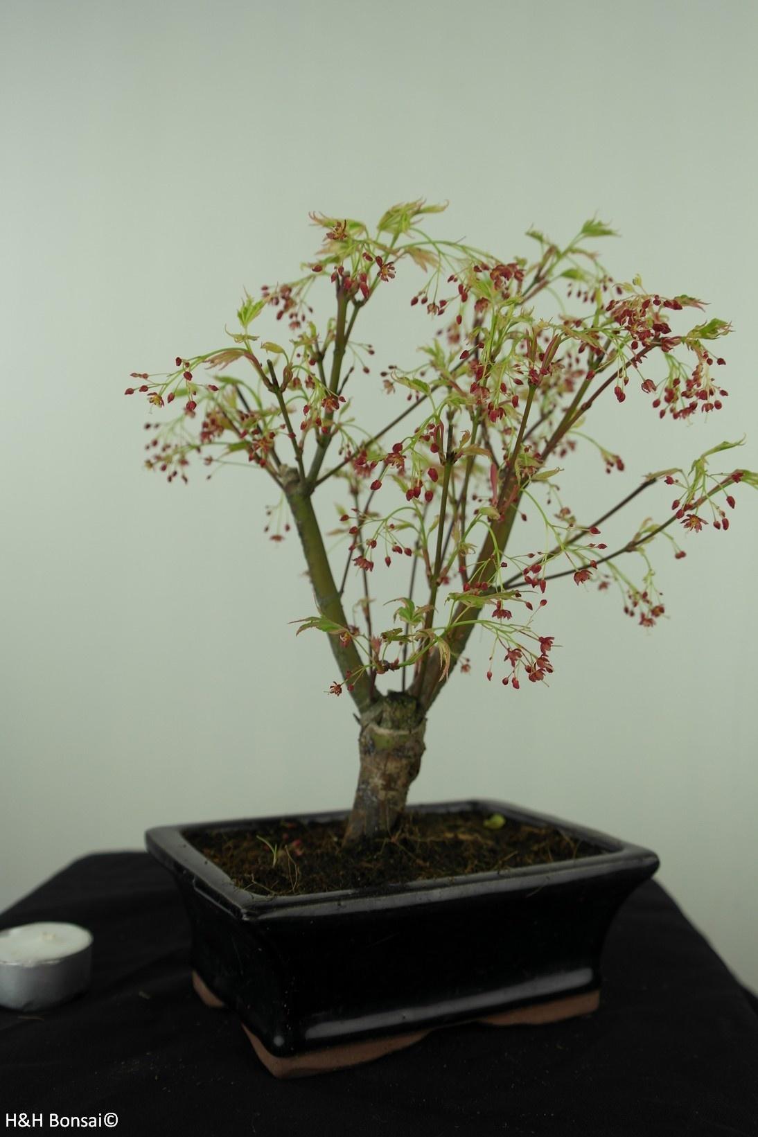 Bonsai Acer palmatum Batafurai, Butterfly, nr. 7543